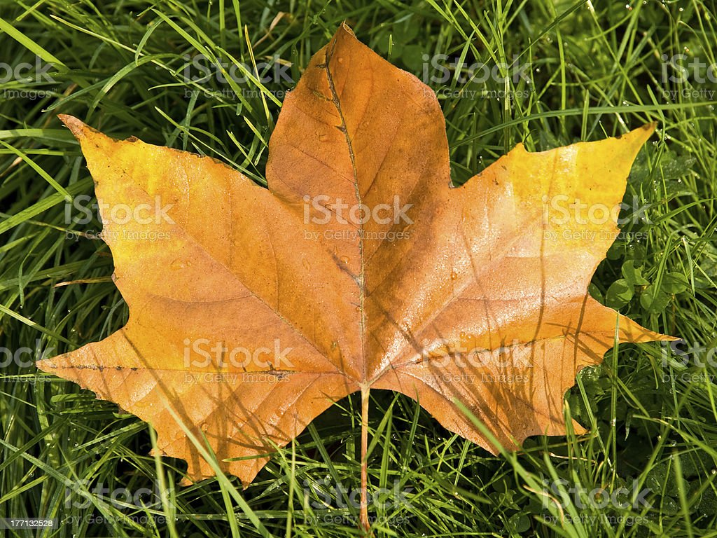 Golden Maple Leaf stock photo
