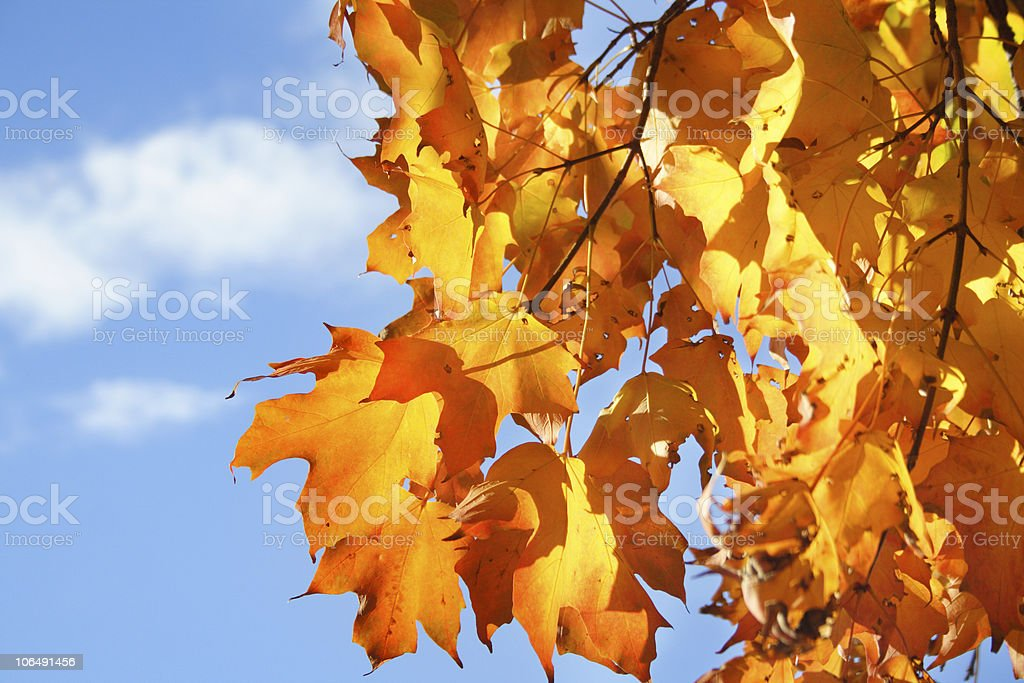 Golden maple leaves royalty-free stock photo