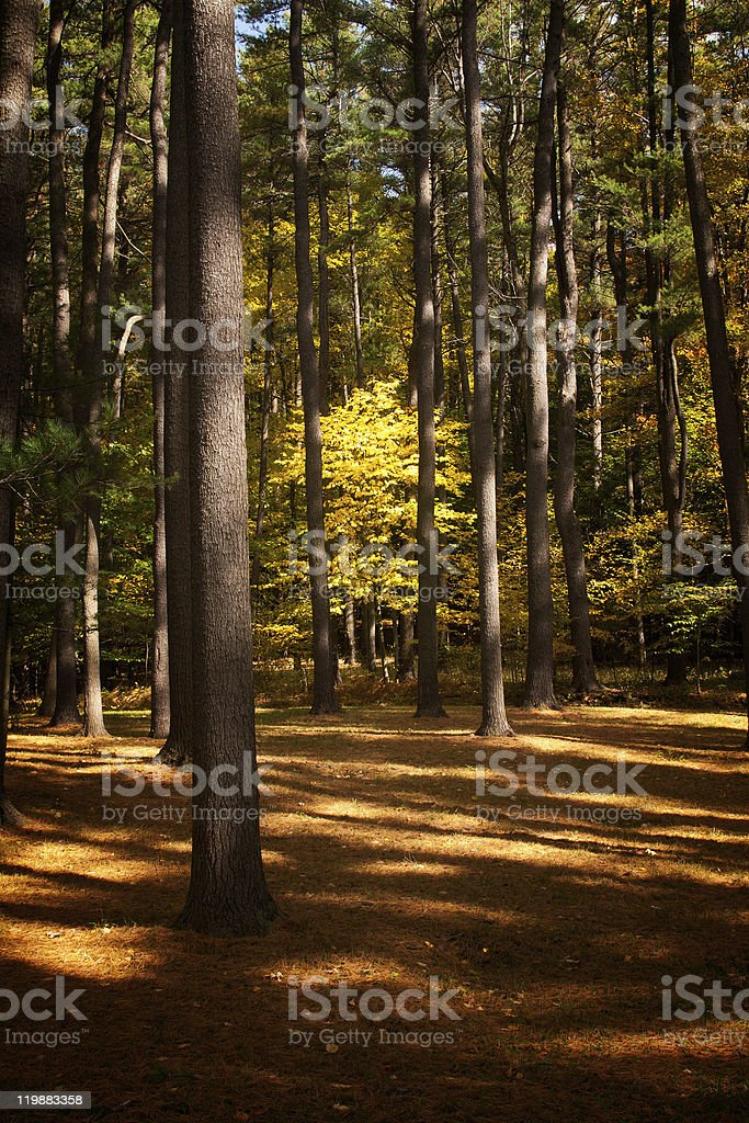Golden Maple Tree in Wilber Park, Oneonta, New York stock photo