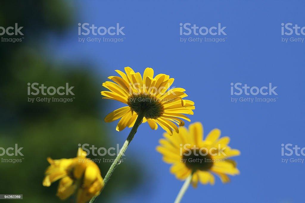 Golden Marguerite on blue sky background stock photo