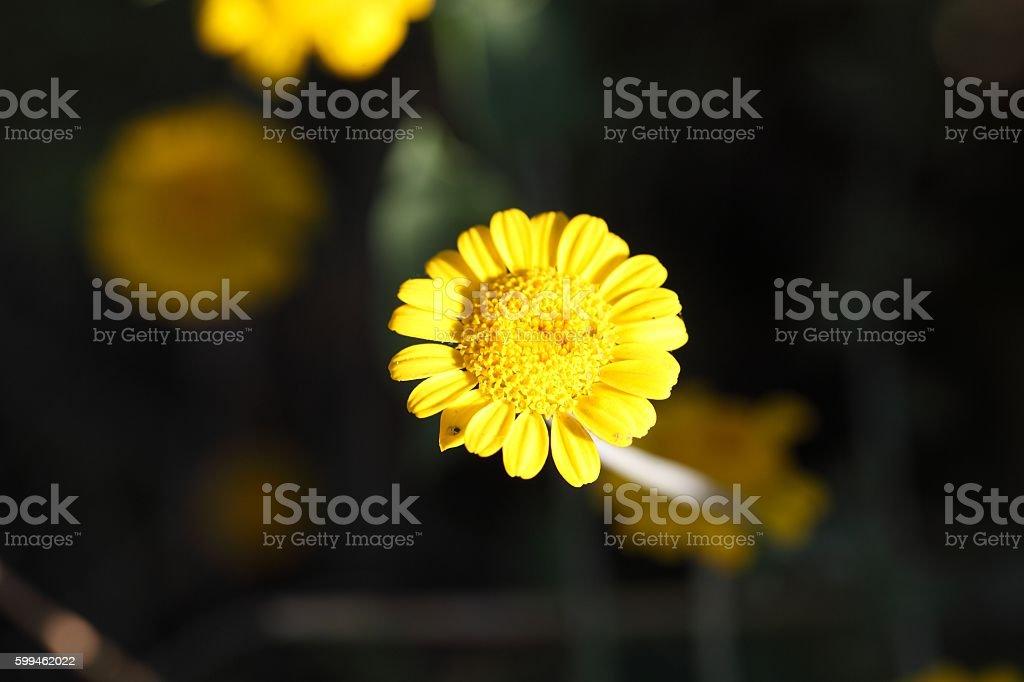 Golden Marguerite (Cota tinctoria) stock photo