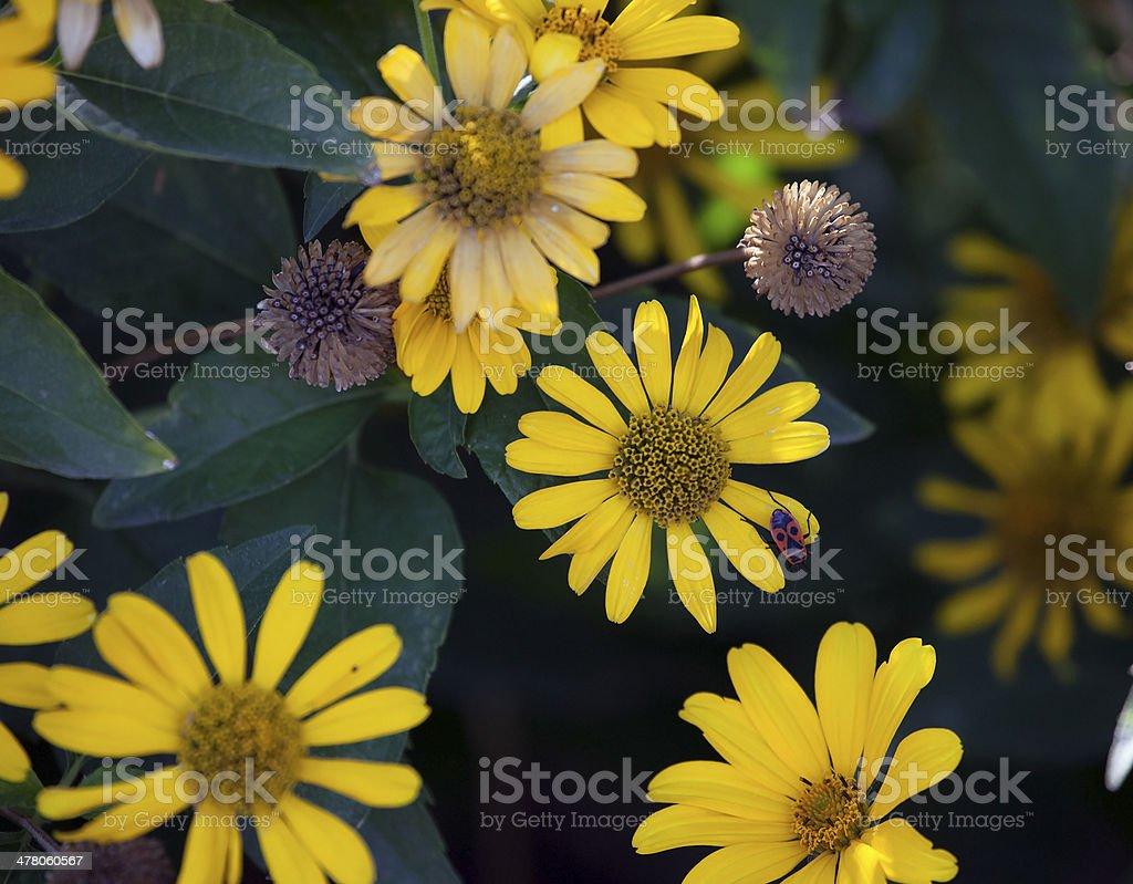 Golden Marguerites. stock photo