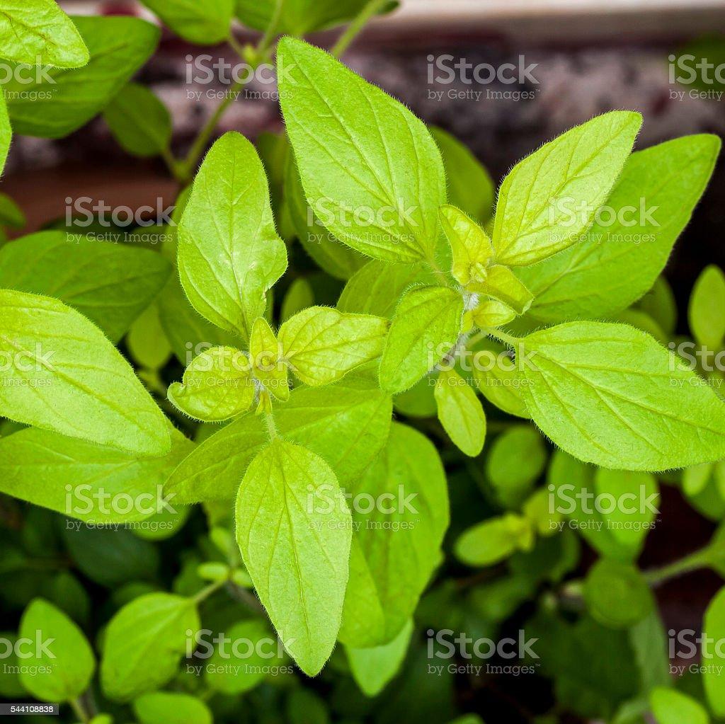 Golden Marjoram (Origanum vulgare) oregano. Herb plant, beautiful leaves. stock photo