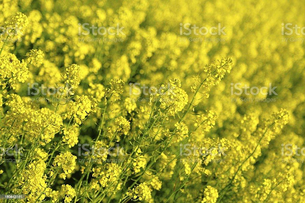 Golden mustard field stock photo