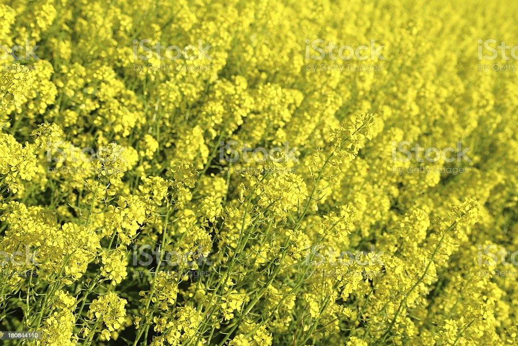Golden mustard field royalty-free stock photo