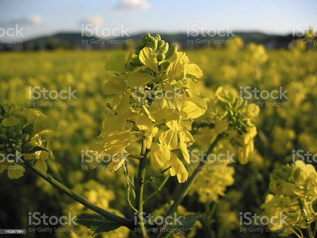 Golden Mustard stock photo