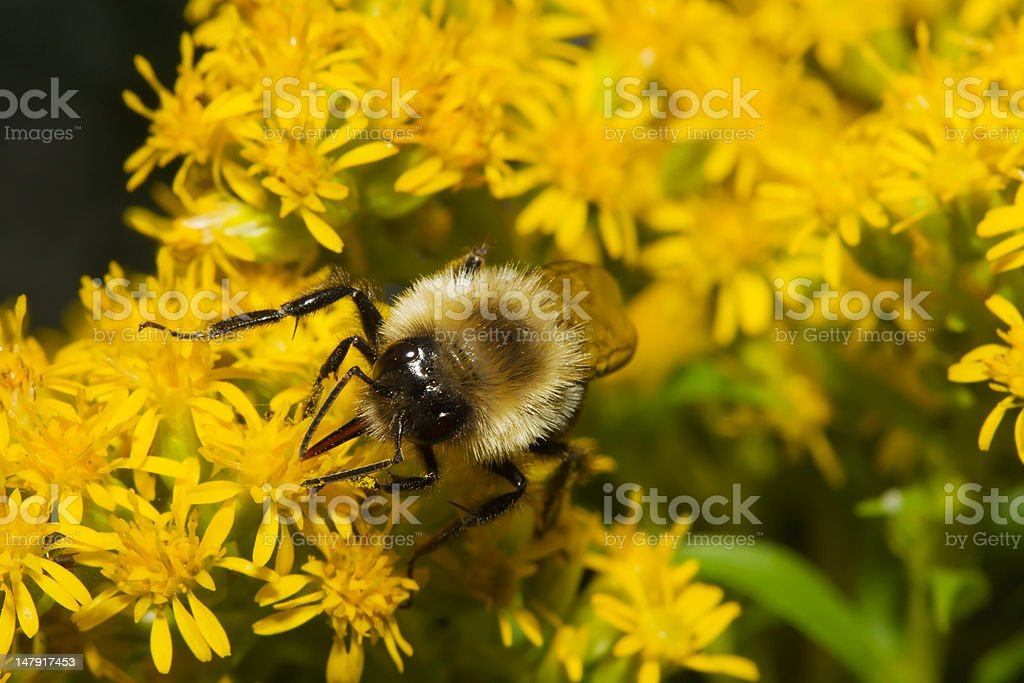 Golden Northern Bumblebee. royalty-free stock photo