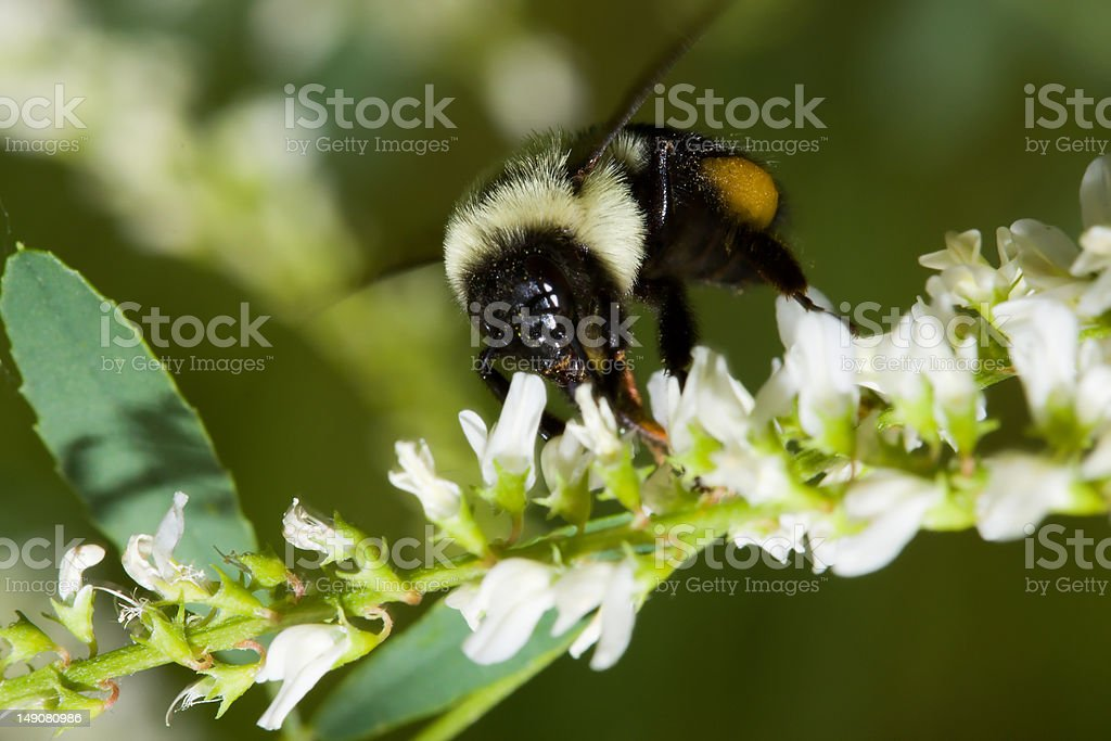 Golden Northern Bumblebee royalty-free stock photo