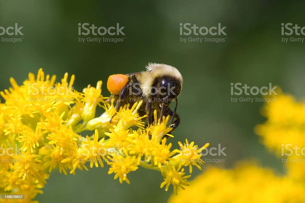 Golden Northern Bummblebee royalty-free stock photo