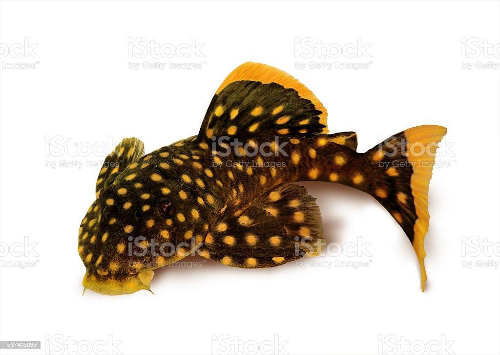 golden nugget pleco catfish Plecostomus L-018 Baryancistrus xanthellus stock photo