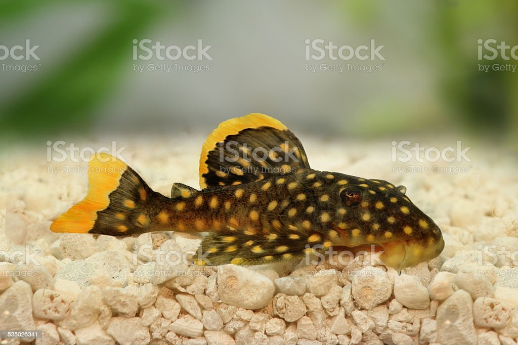 golden nugget pleco catfish Plecostomus L-018 stock photo