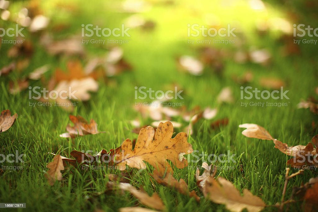 golden oak leaves on green grass royalty-free stock photo