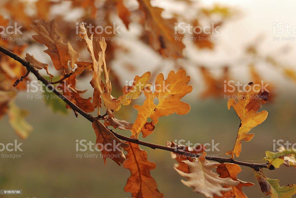 Golden oak leaves royalty-free stock photo