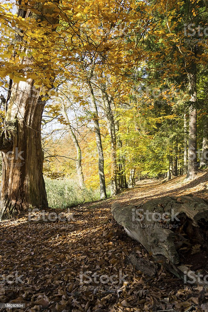 Golden October in the Beech Forest royalty-free stock photo