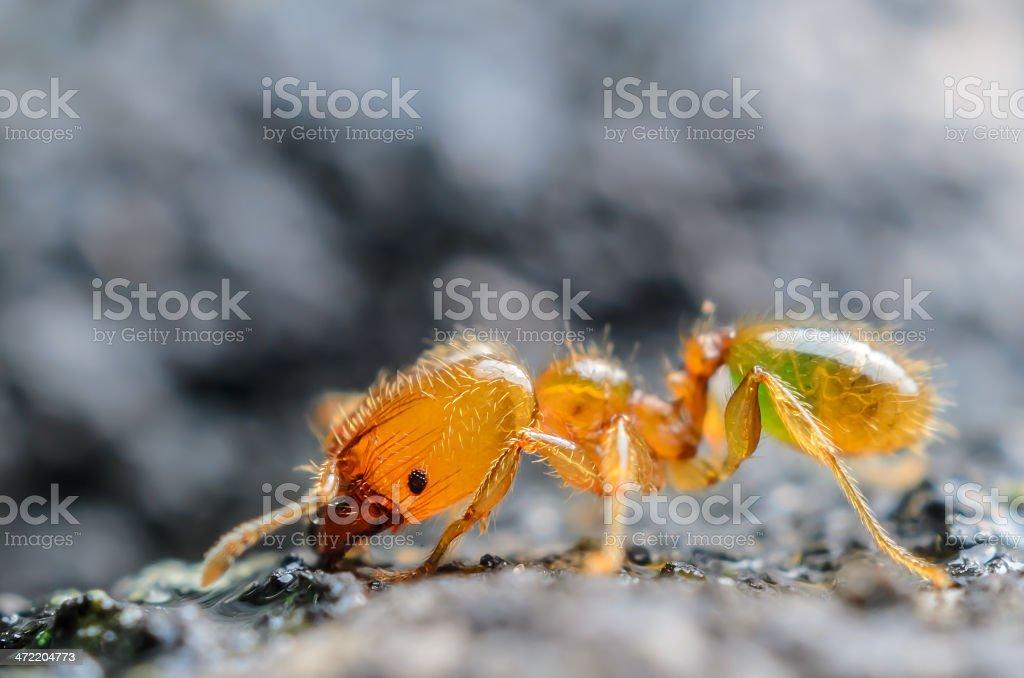Golden Orange Ant stock photo