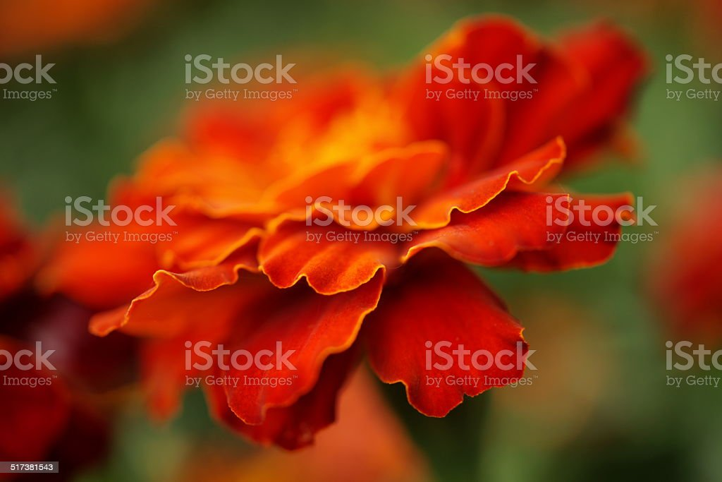 Golden Orange Marigold stock photo