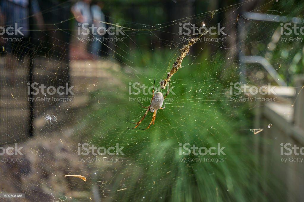 Golden Orb Spider, Australia stock photo