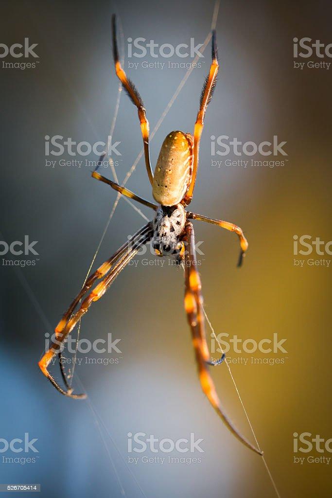 Golden Orb Spinner Spider stock photo