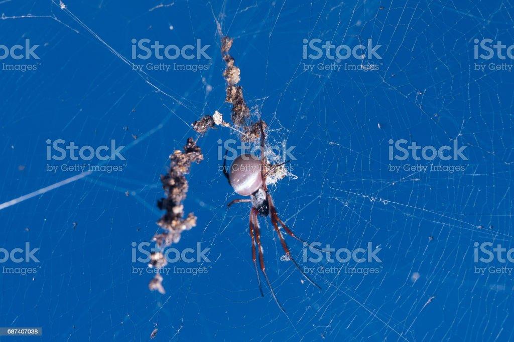 Golden Orb Weaver spider stock photo
