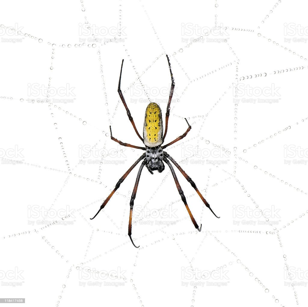 Golden Orb-web spider against white background stock photo