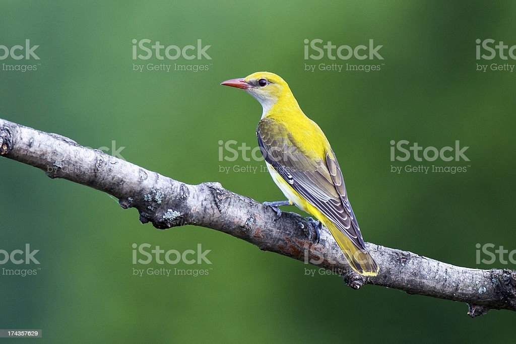 Golden Oriole royalty-free stock photo