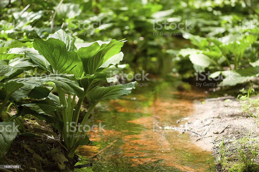 Golden Pine Barrens Stream and Skunk Cabbage stock photo