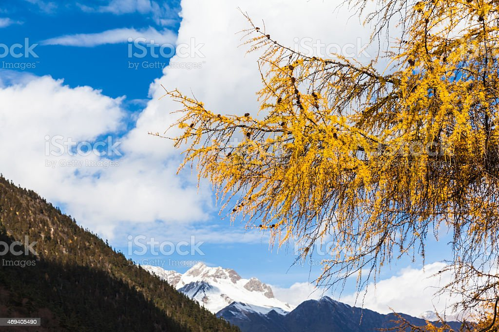 Golden Pine Tree in Huanglong National Park stock photo