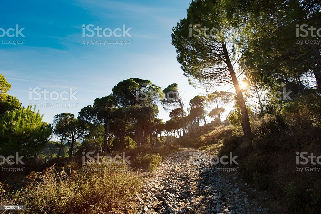 Golden pine trees stock photo