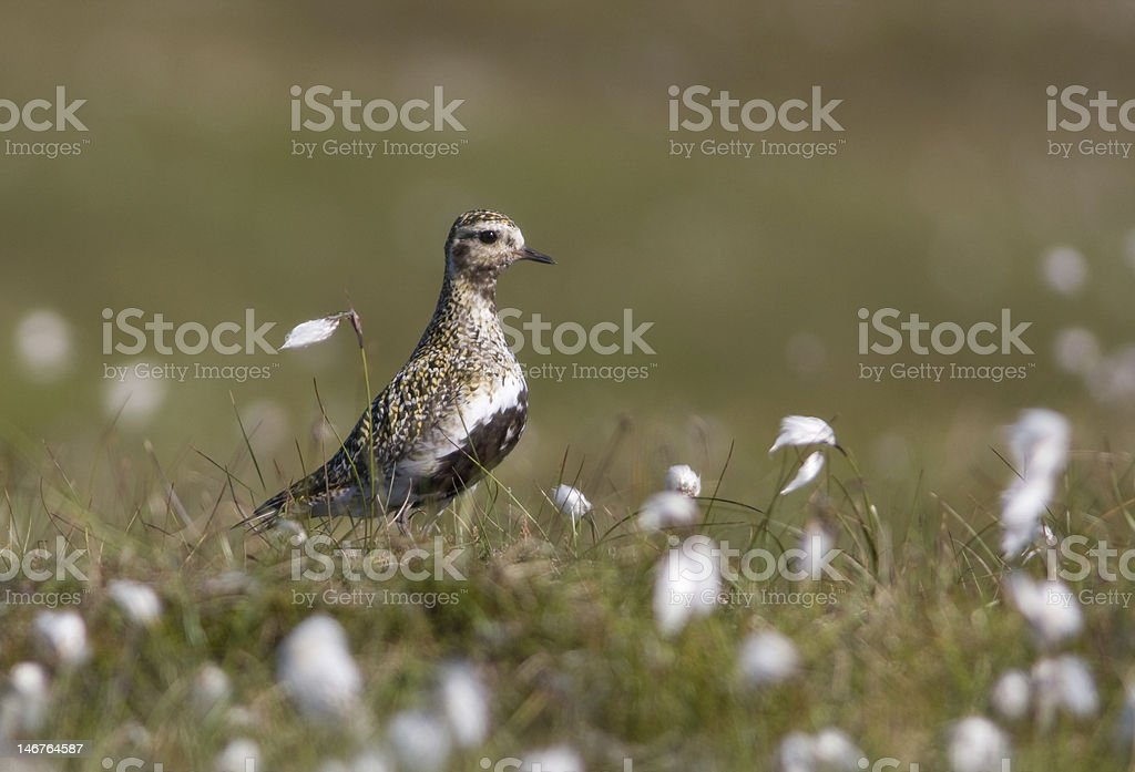 Golden plover amongst cotton grass royalty-free stock photo