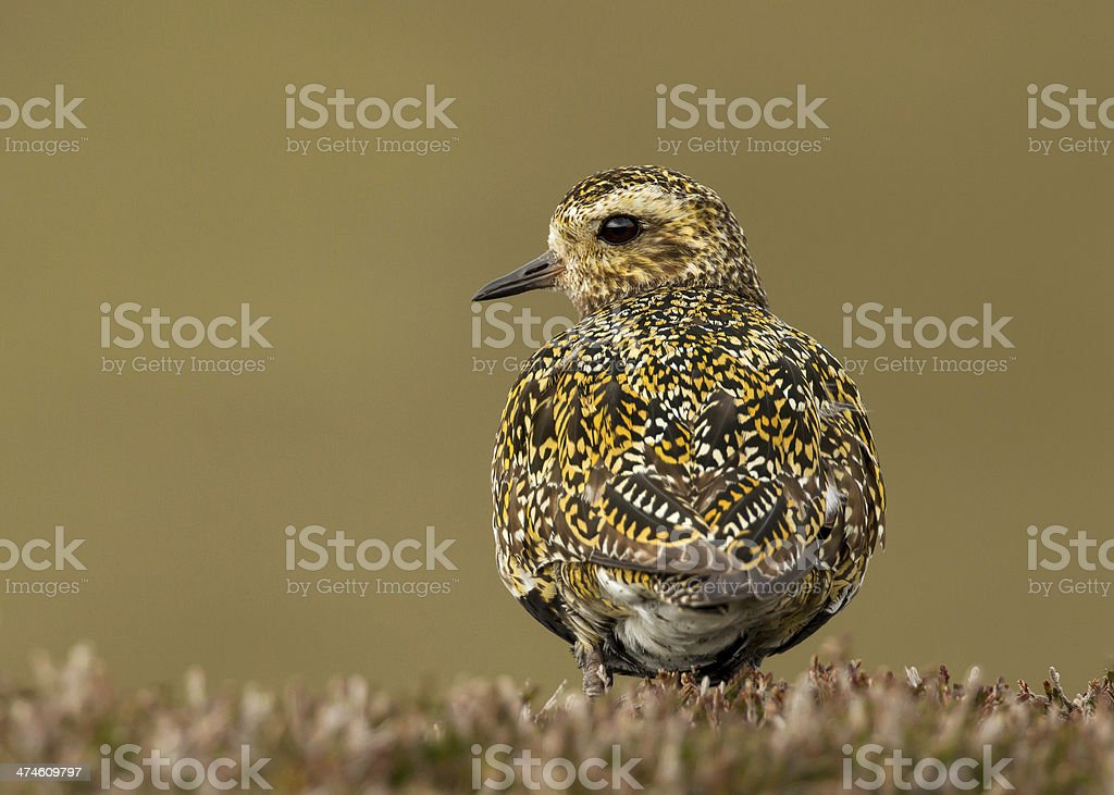 Golden plover (Pluvialis apricaria) stock photo