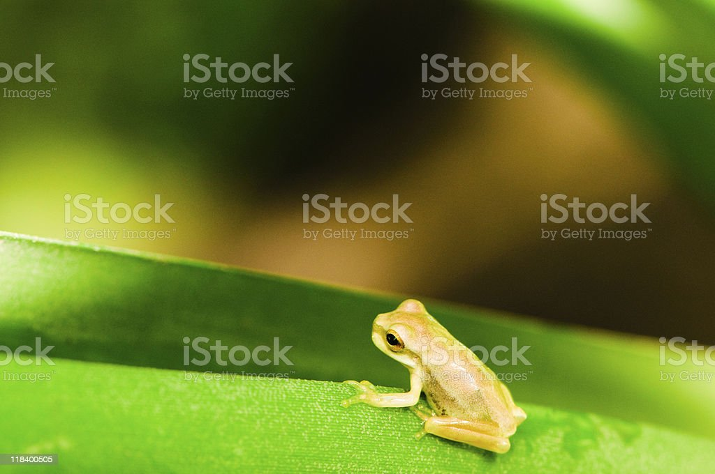 Golden poison arrow frog royalty-free stock photo