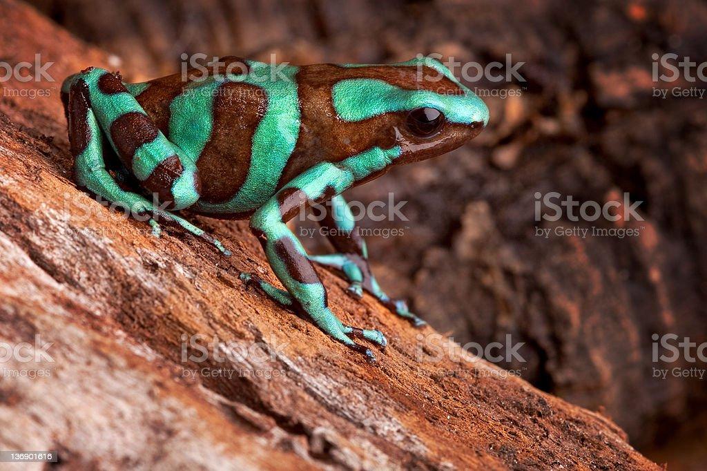 golden poison dart frog stock photo