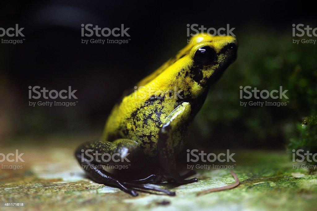 Golden poison frog (Phyllobates terribilis). stock photo