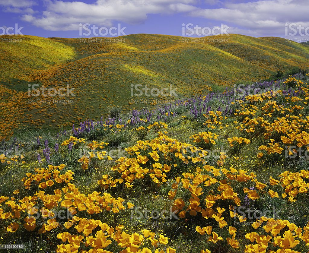 Golden poppies on a field next to hills in California stock photo