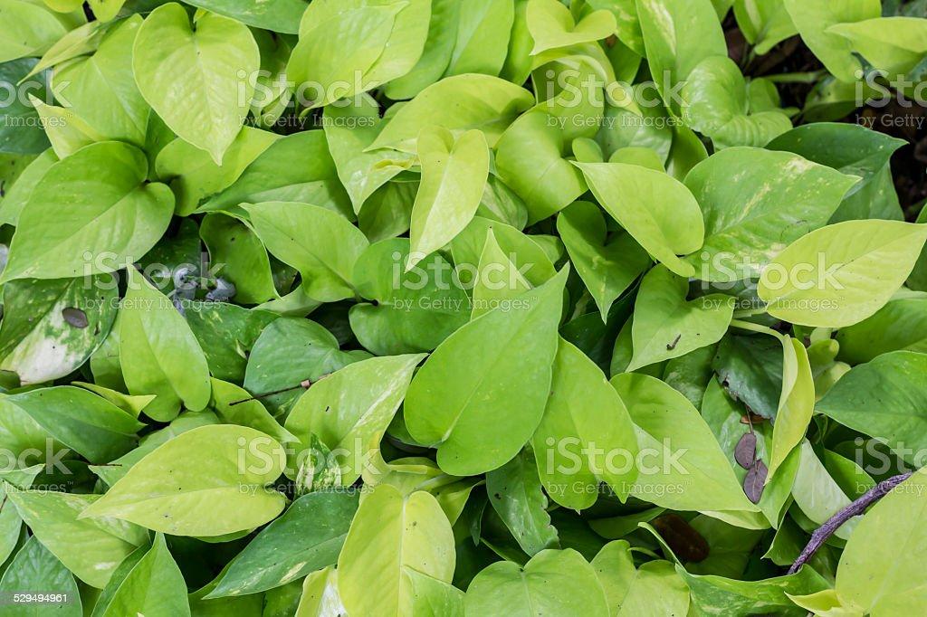 Golden Pothos Hintergrund Lizenzfreies stock-foto