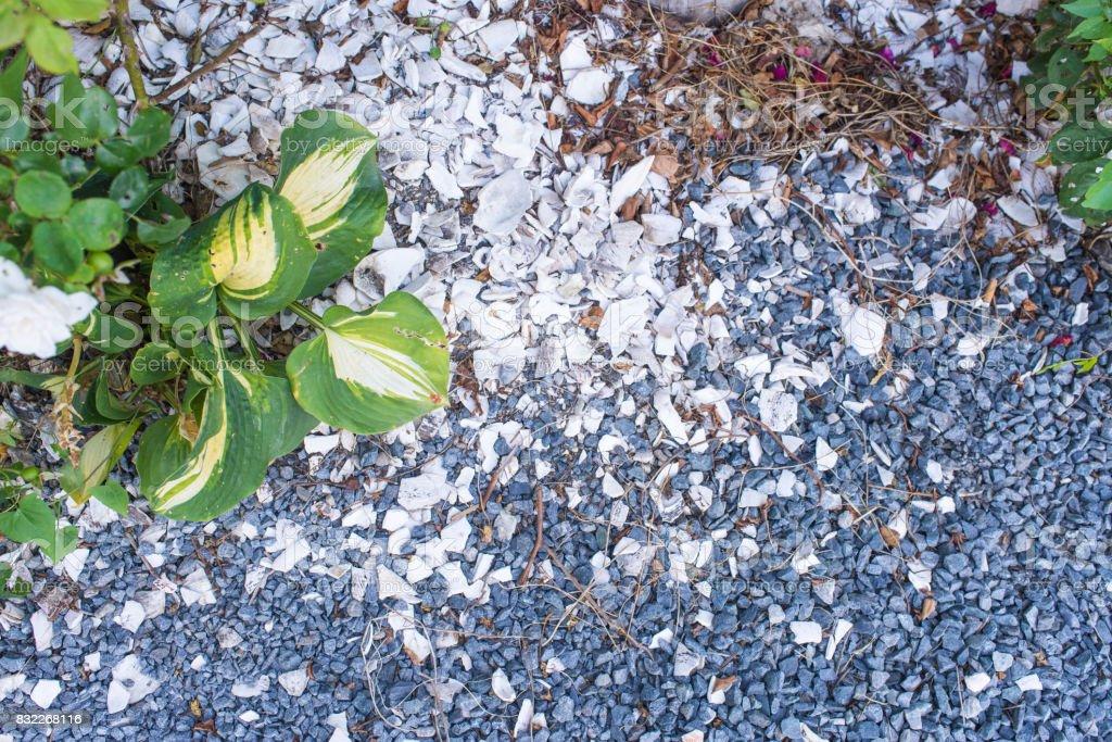 Golden Pothos or Devil's Ivy with gravel stock photo