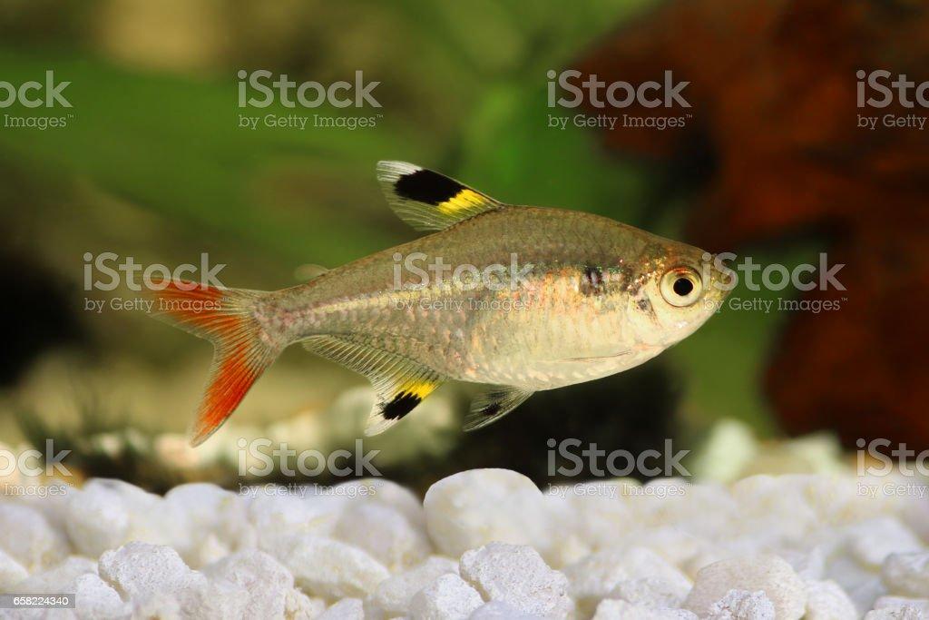 Golden pristella tetra Pristella maxillaris X-ray tetra aquarium fish isolated stock photo
