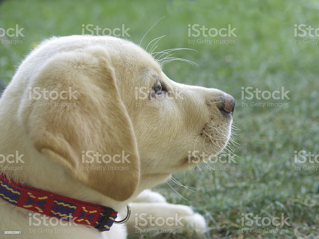 Golden Puppy royalty-free stock photo