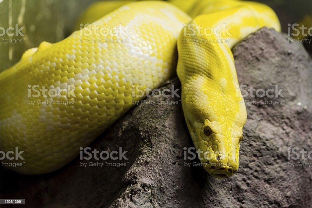 Golden python royalty-free stock photo
