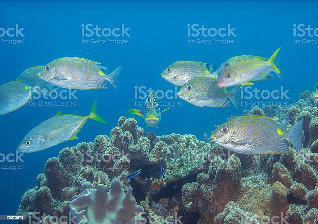 Golden rabbitfish , sweetlips,  goatfish, yellow jackfish, stock photo