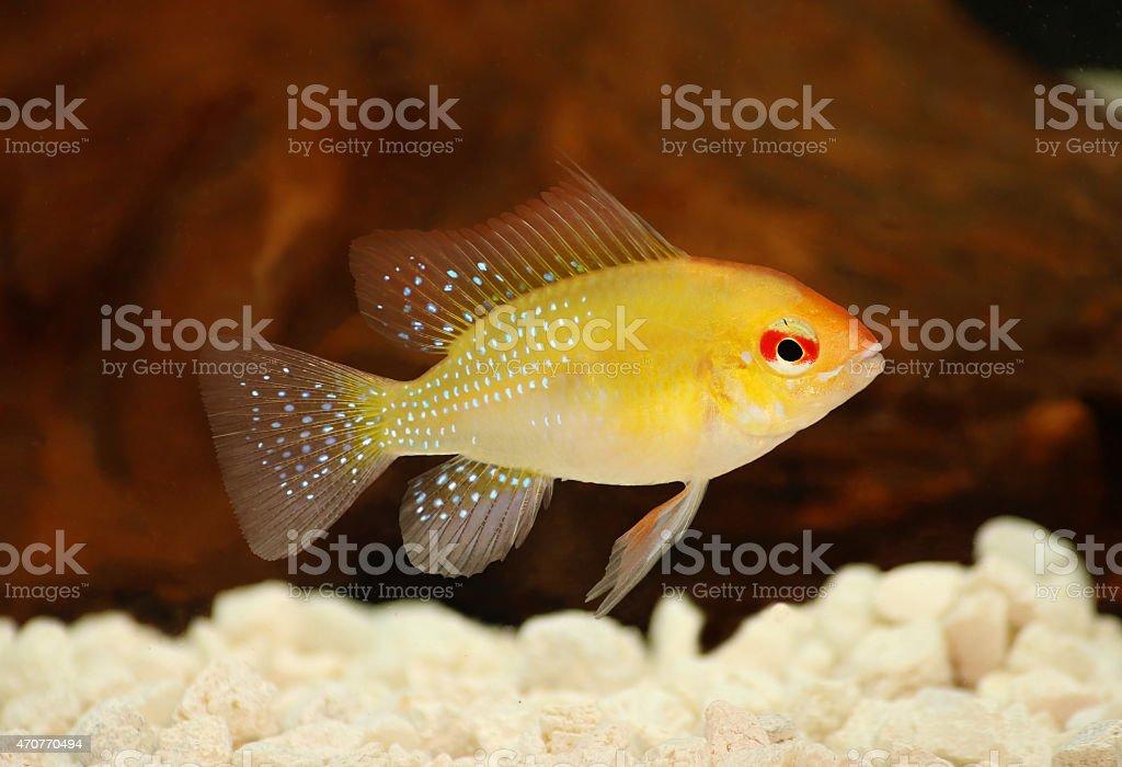 Golden Ram Dwarf cichlid Mikrogeophagus ramirezi aquarium fish stock photo