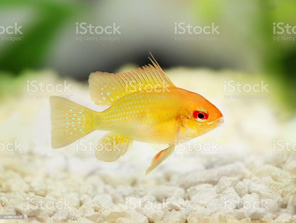 Golden Ram Dwarf cichlid Mikrogeophagus ramirezi freshwater aquarium fish stock photo