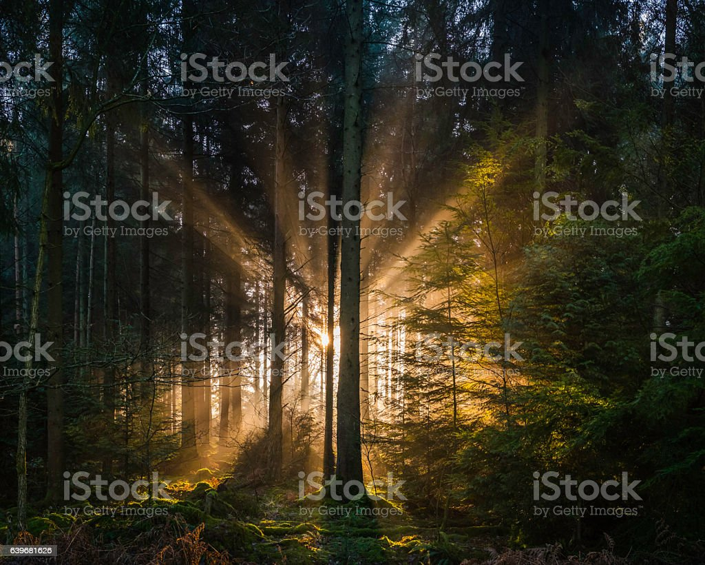 Golden rays of dawn light shining through idyllic forest glade stock photo