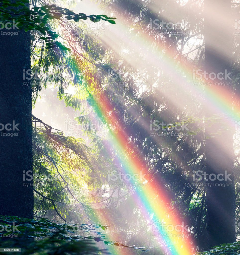 Golden rays of spruce forest stock photo