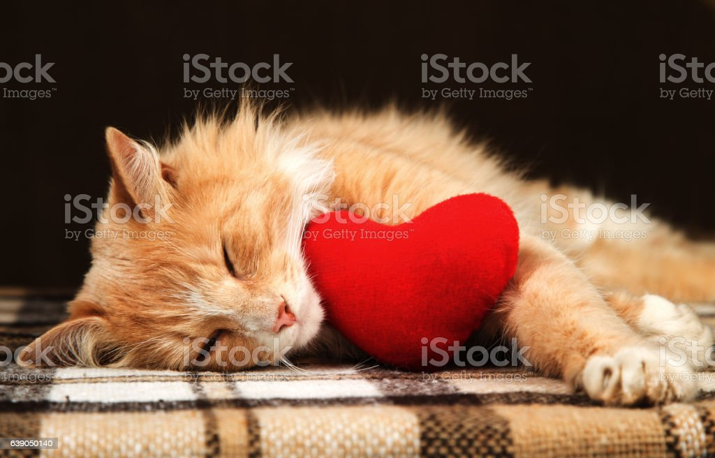Golden red cat asleep hugging a small plush heart toy. stock photo