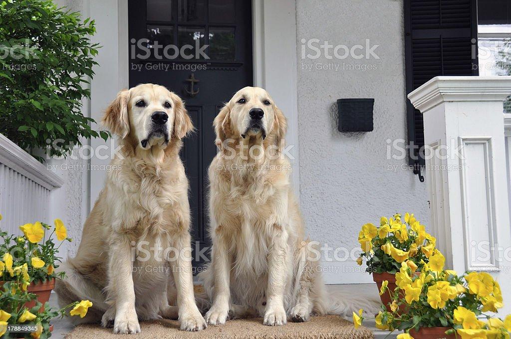 Golden Retiever Pair royalty-free stock photo