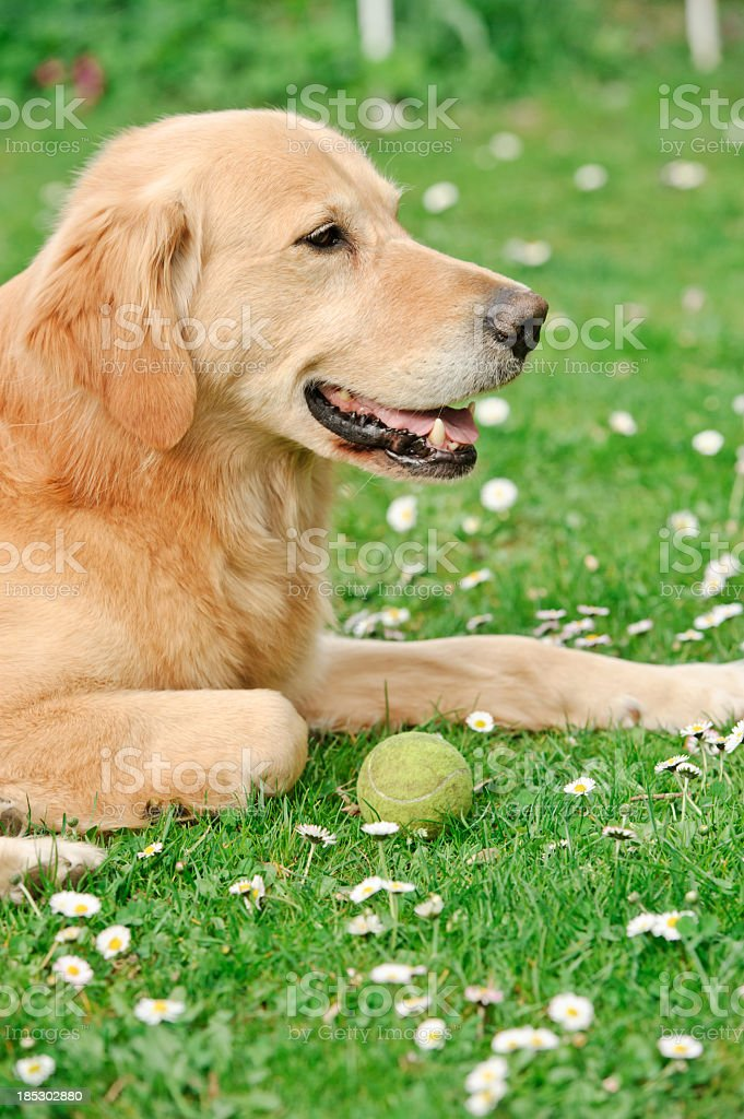 Golden retirever with ball royalty-free stock photo