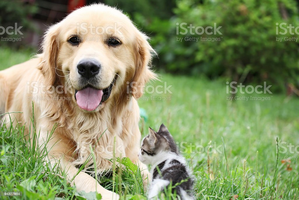 Golden retriever and a small kitten outdoor. royalty-free stock photo