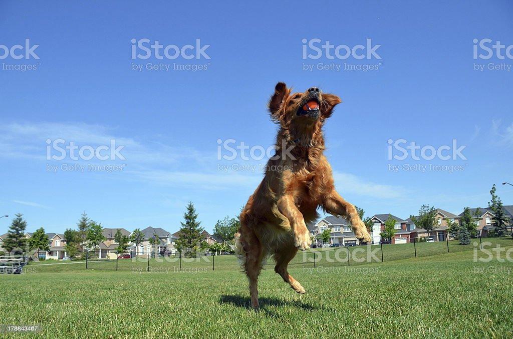 Golden Retriever and Ball royalty-free stock photo
