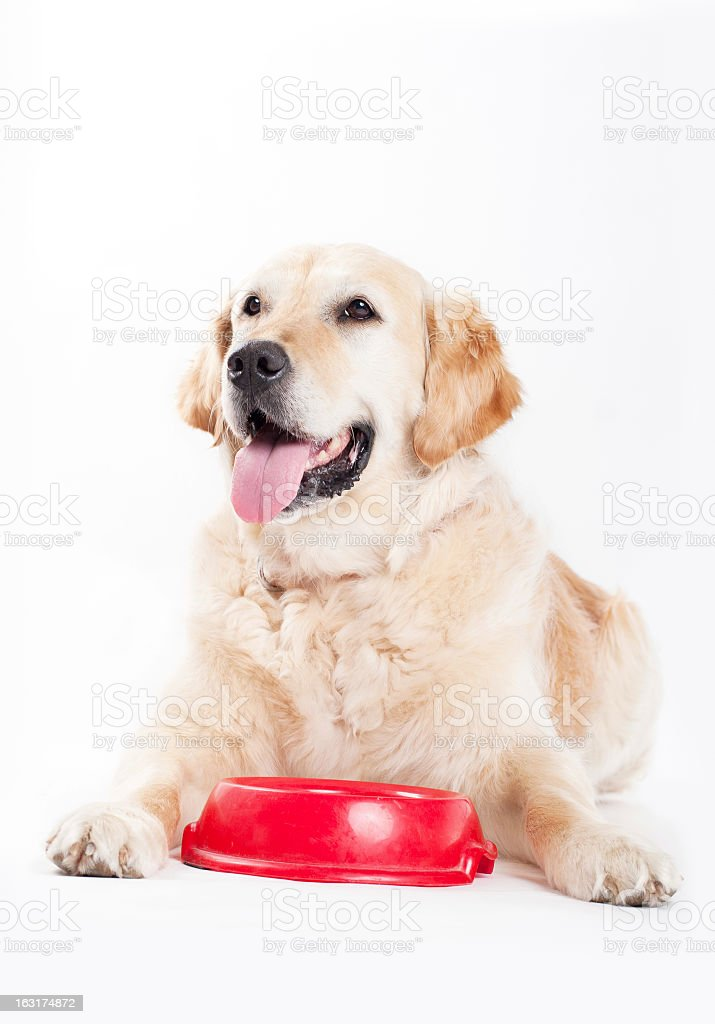 Golden Retriever and dog food royalty-free stock photo